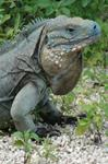 Another Wave Of Blue Iguanas Ready For Release Into The Wild