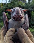 Male Hammer-headed Fruit Bat Vocalization | WCS Wild View