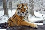 A Tiger at Bronx Zoo Tests Positive for COVID-19