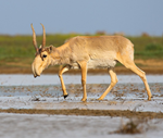 New Protections for Saiga Antelope