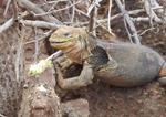 Health Evaluations for Galápagos Iguanas